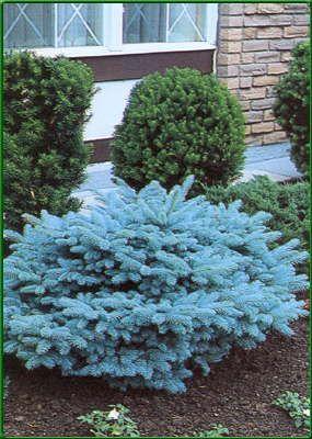 Image Result For Dwarf Globe Blue Spruce Yard Front