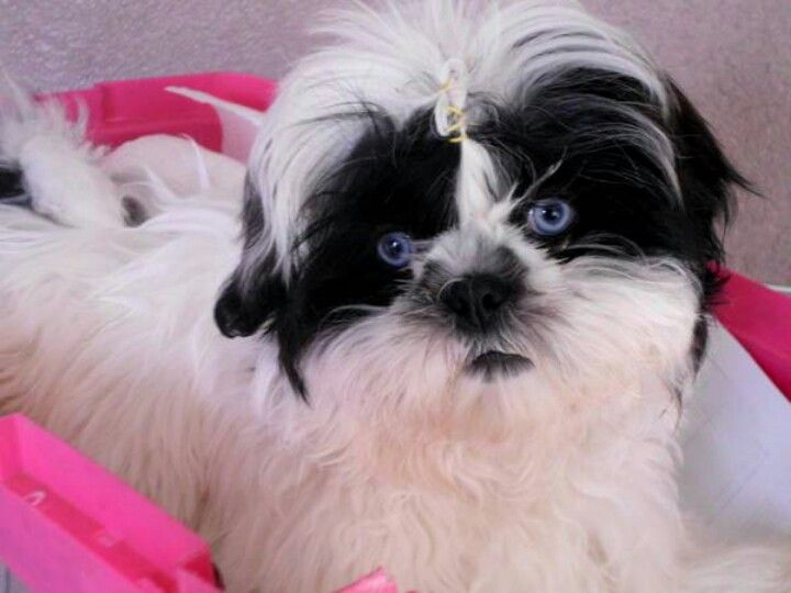 Shihtzu Blueeyes With Images Shih Tzu Shih Tzus Shih Tzu Dog