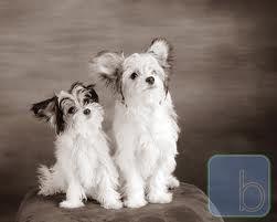 Papitese Puppies Puppies Mans Best Friend Dogs