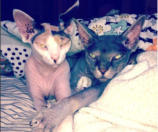 Sphynx hairless cats- I will own 1 of these in the future ...