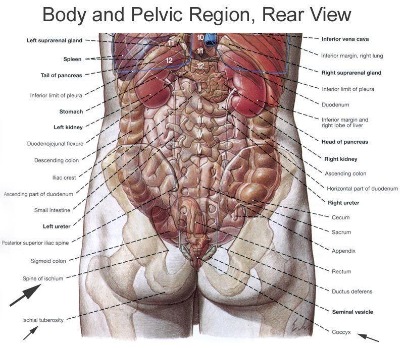 Human Organs Diagram Back View Well Being Pinterest Human Body