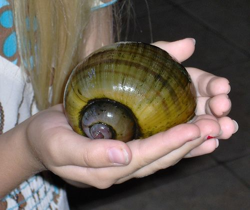 Apple Snail Image Only Some Things Fishy