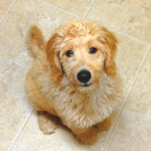 Goldendoodle It Literally Looks Like A Stuffed Animal Puppy Adoption Goldendoodle Pets