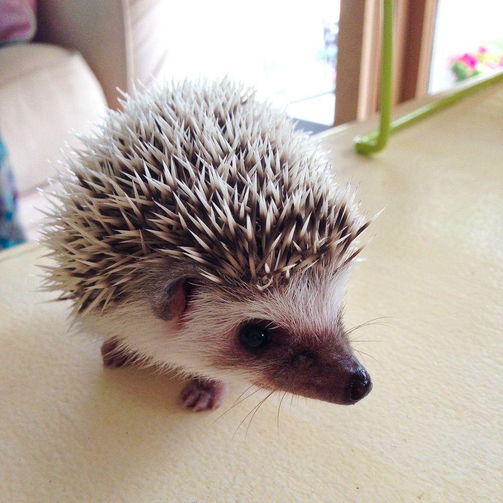 A pet hedgehog? Awesome work meg duerksen.