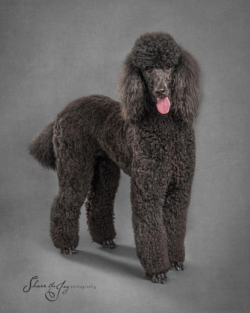 Blog Poodle Dog Standard Poodle Poodle