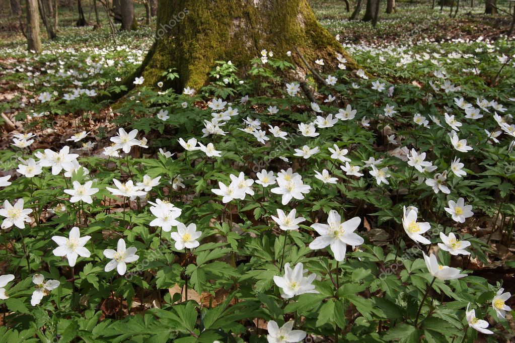 Anemone (Anemone nemorosa) | Fleurs en bois, Couvre sol ...
