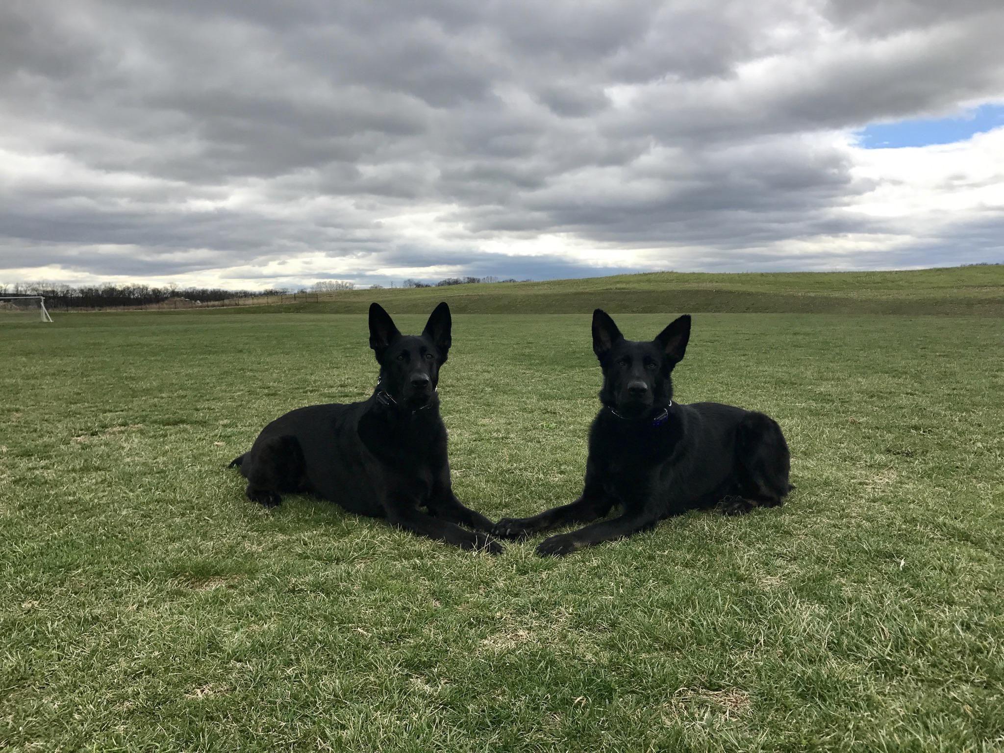 44 German Shepherd Mix Breed Reviews Animals Vizsla Puppies
