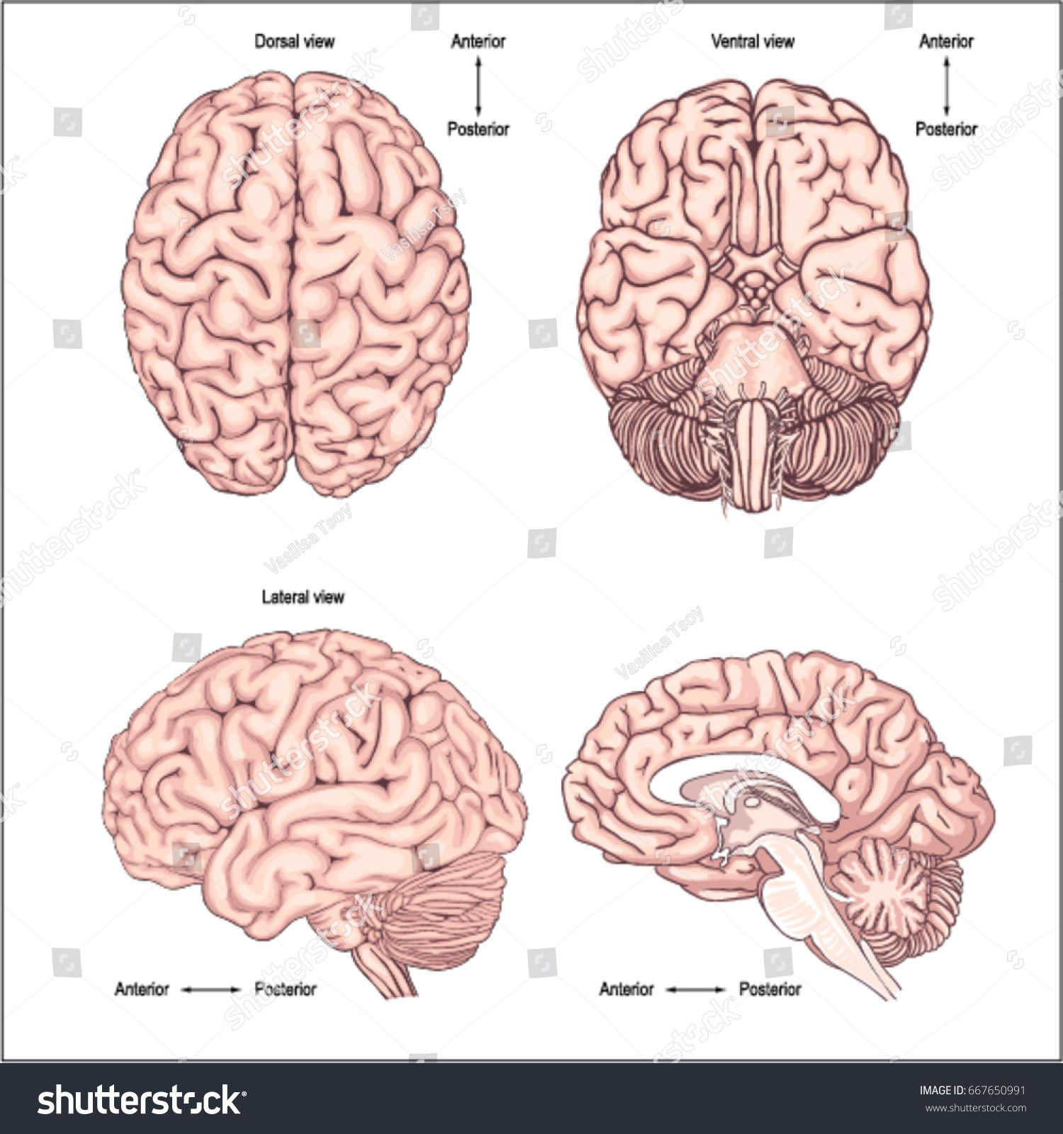 Diagram Of The Brain From The Top Side Front And Back Realistic Image Of The Brain Anatomy Of The Brain Poste Brain Anatomy Anatomy Back Human Brain Anatomy