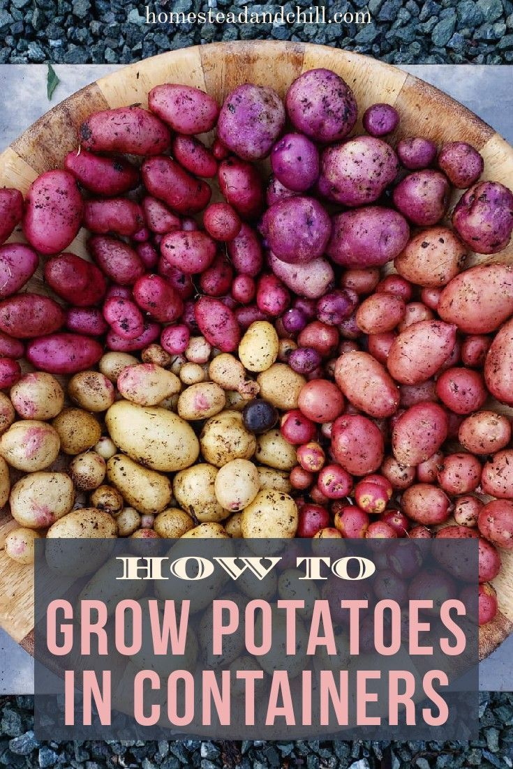 How to Grow Potatoes in Containers ~ Homestead and Chill #growingpotatoes