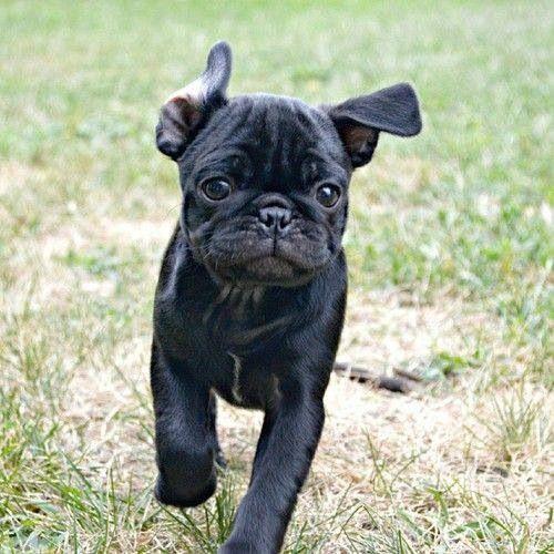 Running Little Black Pug Cute Pugs
