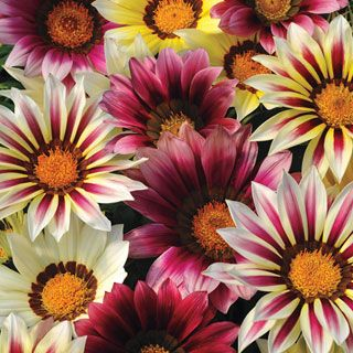 DROUGHT TOLERANT RESEEDING ANNUAL GAZANIA NEW DAY ROSE STRIPE FLOWER SEEDS 30