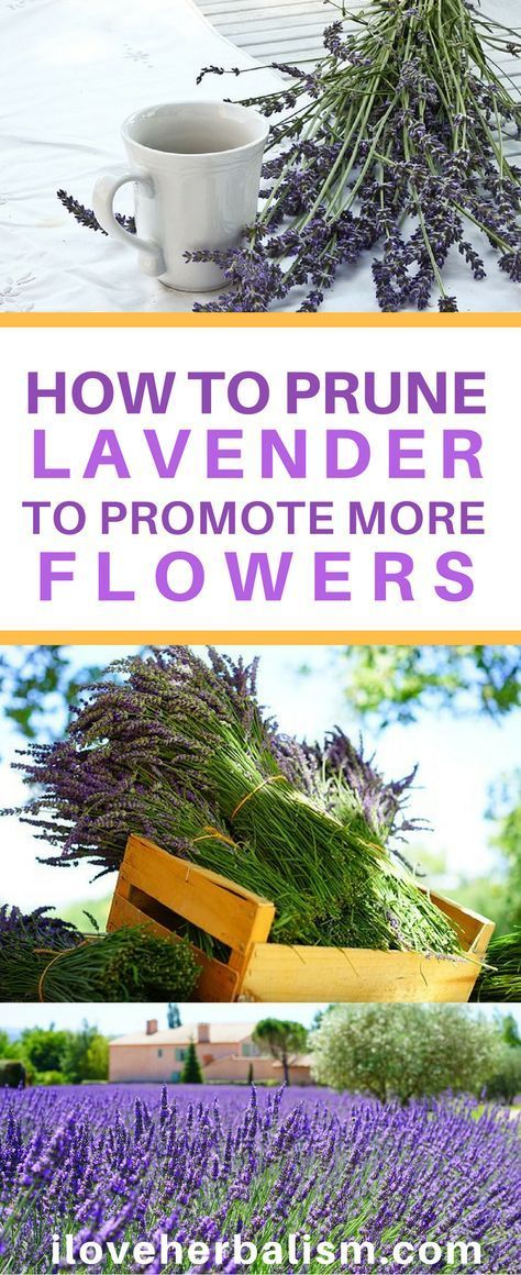 How To Prune Lavender Plant To Promote More Flowers - I Love Herbalism -   18 lavender plants Landscaping ideas