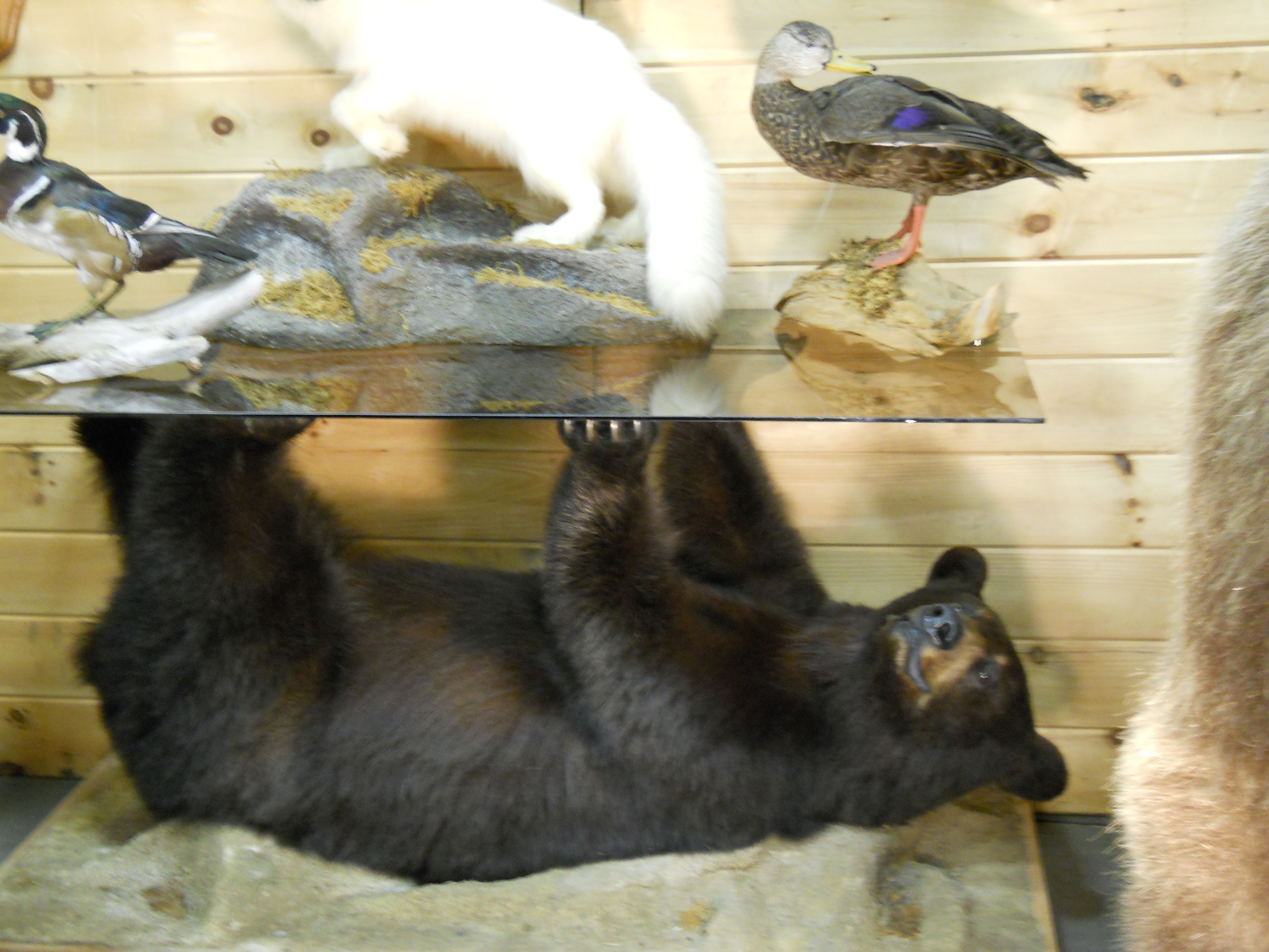 Preserved Coffee Table Black Bear Https Www Youtube Com User