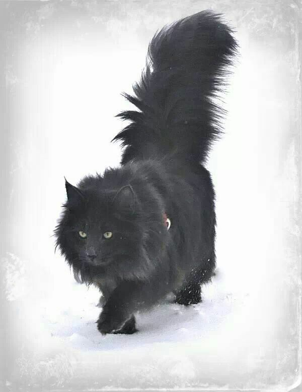 Black Norwegian Forest Cat Love Love Love This Cat Norwegian Forest Cat Forest Cat Black Norwegian Forest Cat