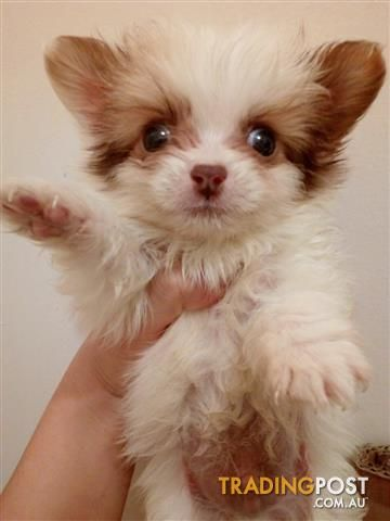 Maltese Shihtzu Pomeranian Pup For Sale In Rockdale Nsw Maltese Shihtzu Pomeranian Pup Pomeranian Puppy Pup Pomeranian