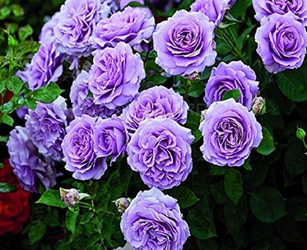 Amazon Seeds Market Rare Pu Bu Big Purple Flower Climbing