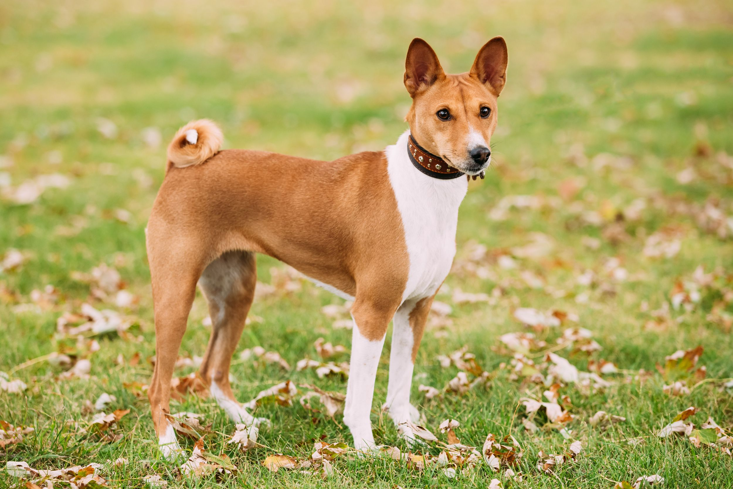 30 Beloved Dog Breeds That Don T Shed Dog Breeds That Dont Shed Dog Breeds Medium Dog Breeds