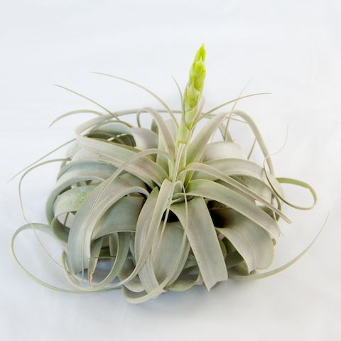 This Website Sells Many Types Of Air Plants Garden