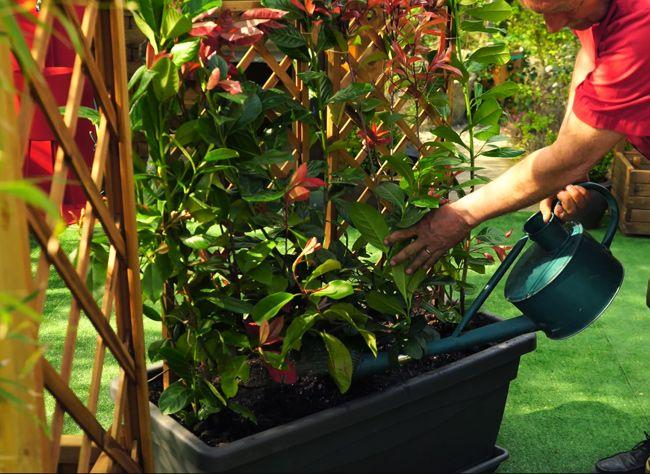 quels arbustes persistants planter dans un bac. Black Bedroom Furniture Sets. Home Design Ideas