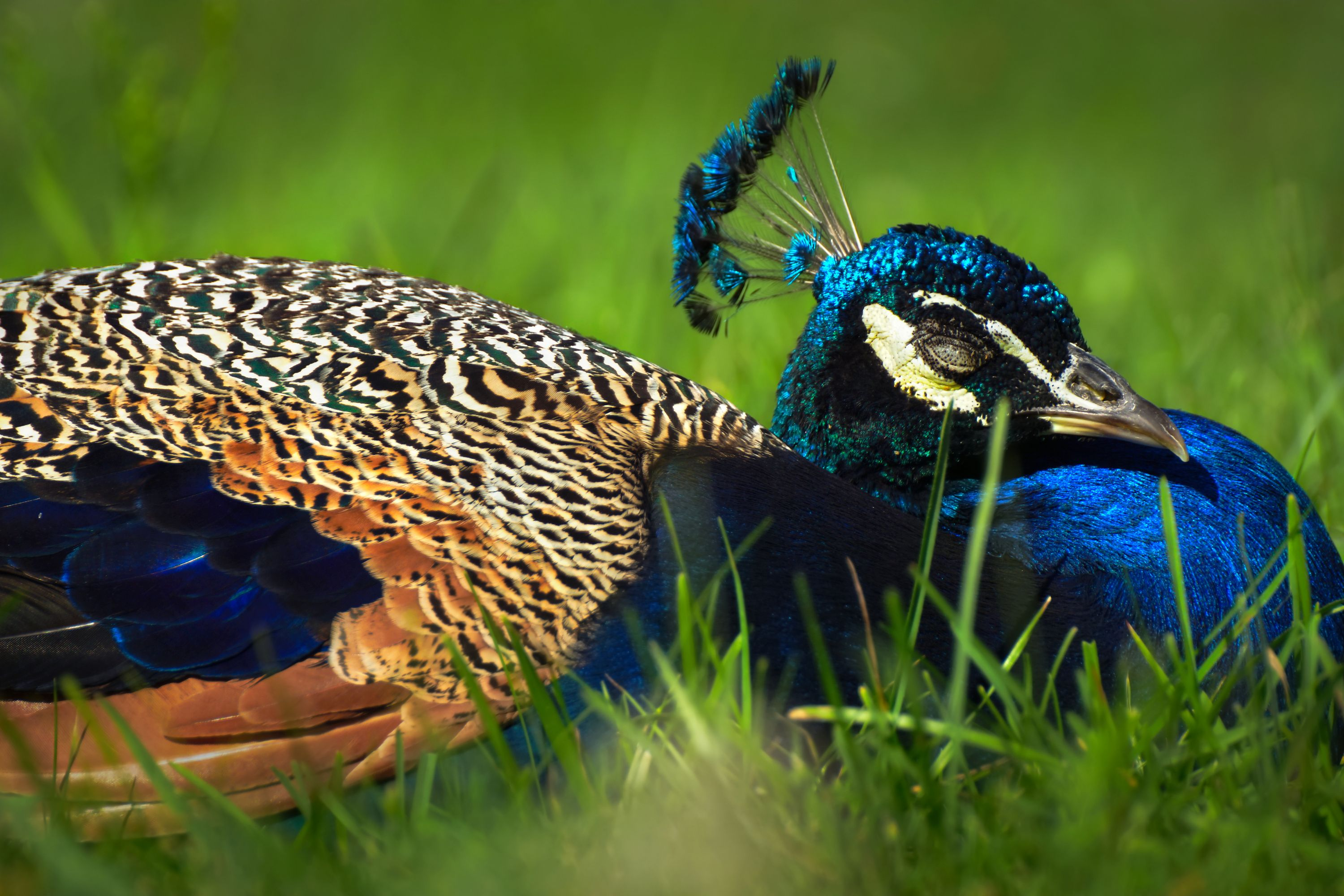 Photo Print Dreamy Peacock Size Surface Selectable Animal Photography Photo Printing Photo