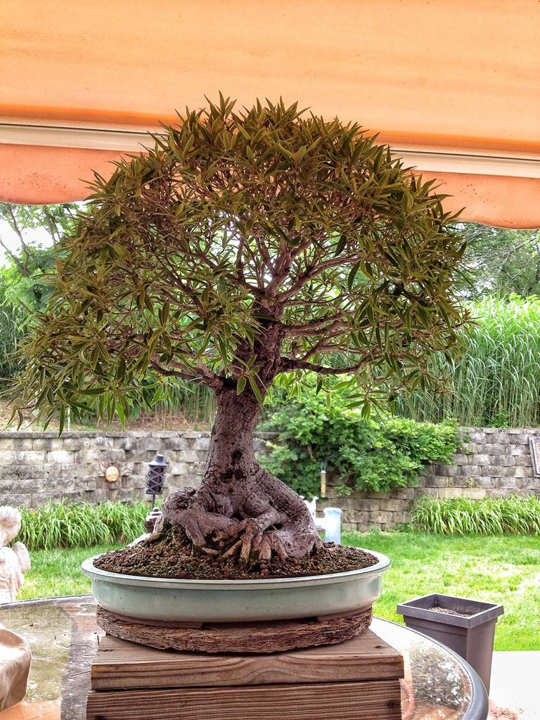 Pin By Alice Scheffler On Bonsai Pinterest Ficus And Wire Tree Wiring Brother Structure Trees Figs
