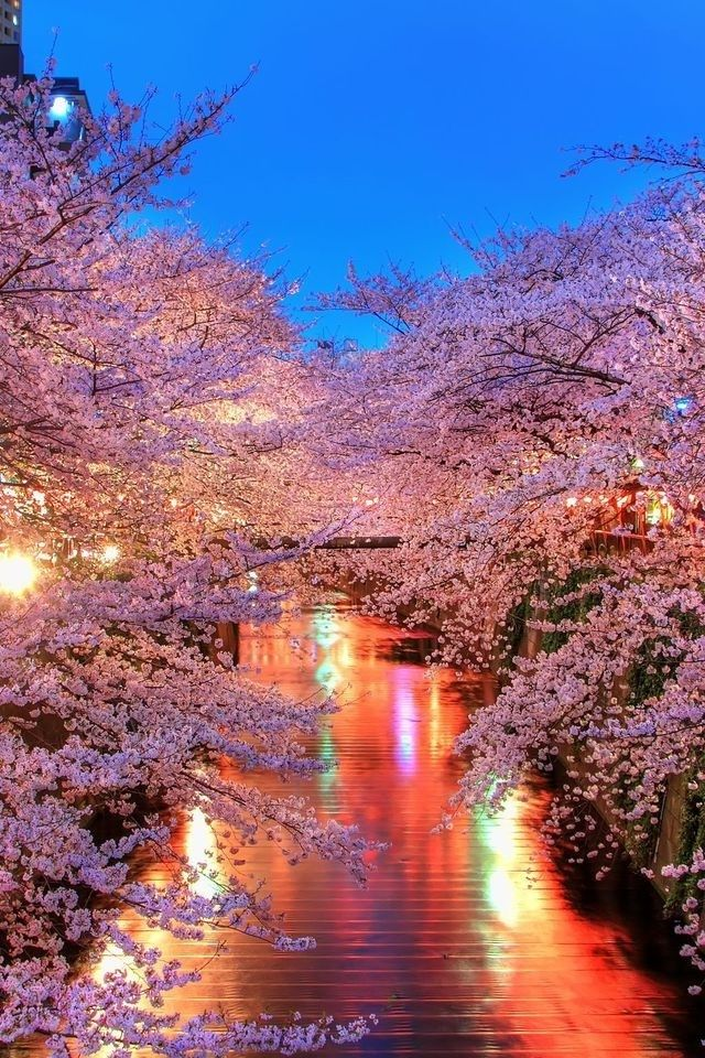 Cool Stunning Blooming Cherry Trees On A River Wallpaper 8841 Sakura Iphone Hd 640x960 Pixels