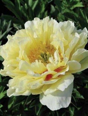 Peony Bartzella On The List Plants Pinterest Peony Flower