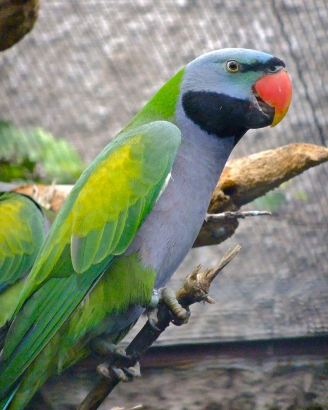 The Lord Derby's parakeet (Psittacula derbiana), also