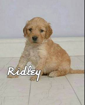 Litter of 9 Goldendoodle puppies for sale in EDMOND, OK  ADN-33029