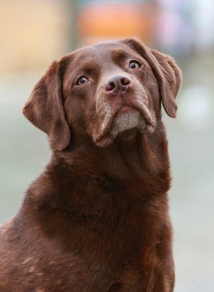 Lea Tierheim Berlin Homeless dogs, Labrador, Labrador