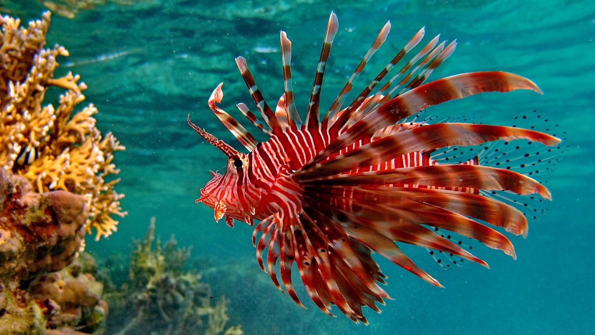 Underwater Tropical Ocean Sea Color Free Jpg 1920 1080 Lion Fish Underwater Fish Underwater Animals