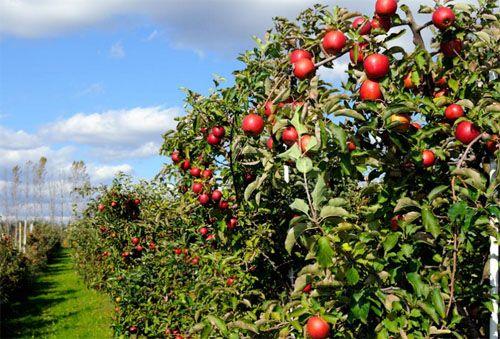 Wisata Kebun Apel Malang | Kebun, Malang, Pemandangan
