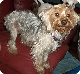 Memphis Tn Yorkie Yorkshire Terrier Poodle Miniature Mix Meet Sweetie A Dog For Adoption Yorkshire Terrier Yorkie Pet Adoption