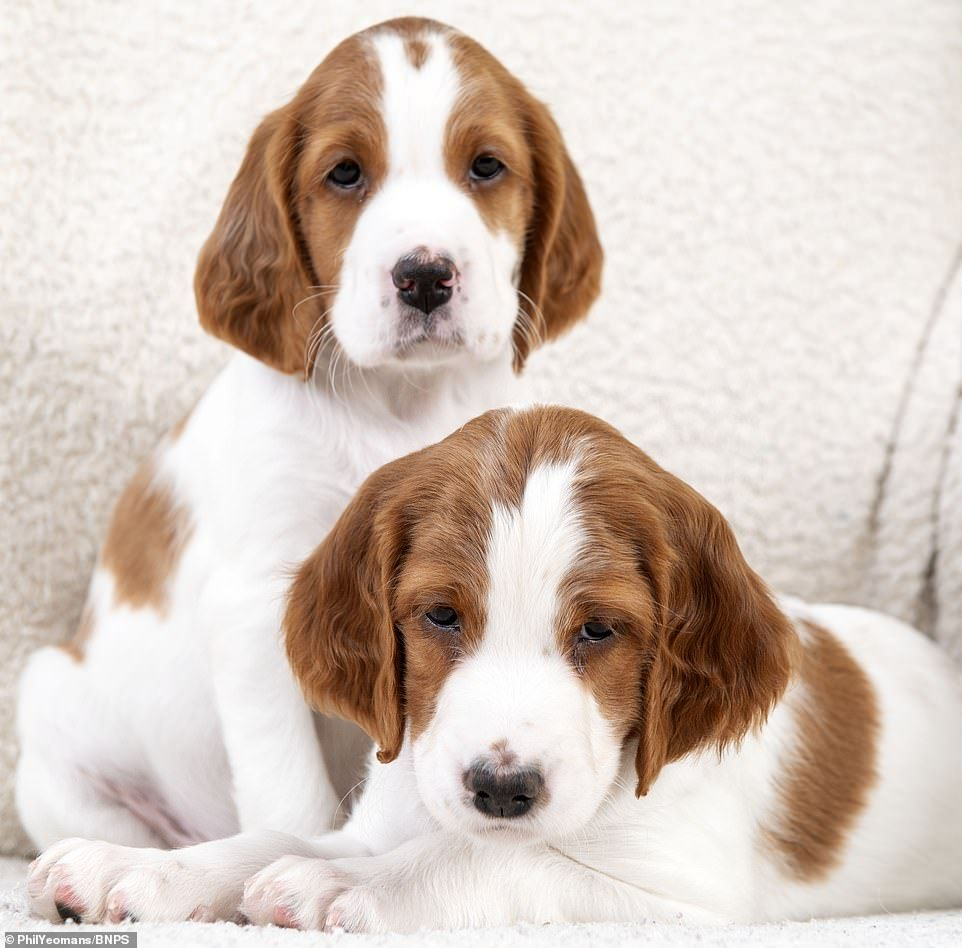 Breeder's relief at 10 new Irish Red and White Setter