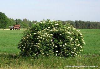 #Holunderblüten im #Spreewald entdecken  www.spreewald-hotel-stern.de