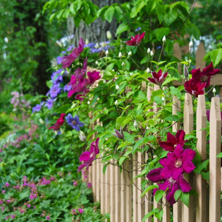 Gartenzaun bewachsen mit vielen schönen Clematis