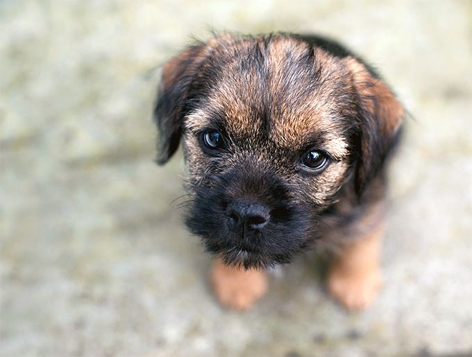Border Terrier Dog Breed Information Pictures Characteristics