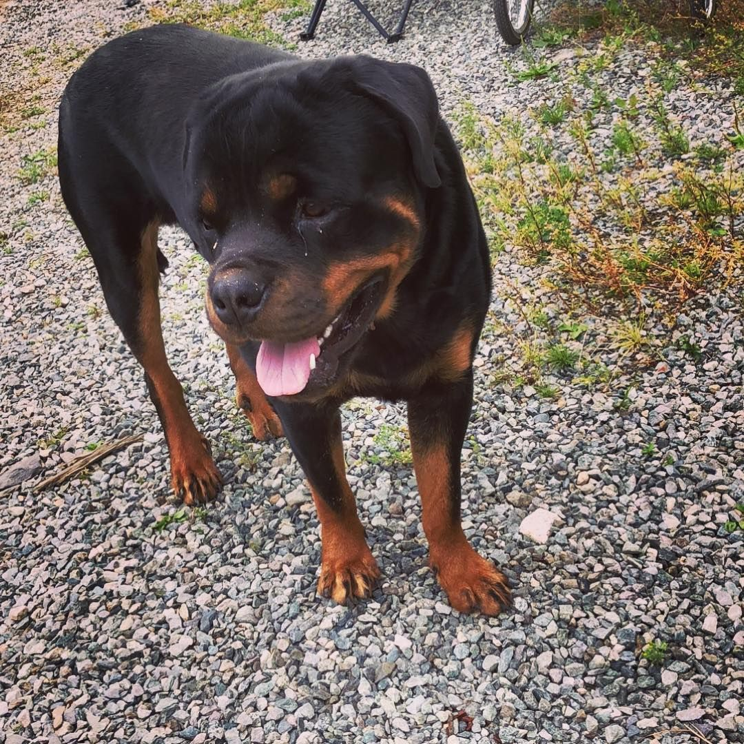 Pin By Dog Heaven On Rottweiler Dog Gifts Rottweiler Dogs