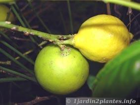 Citronnier culture et entretien en pot taille en hiver for Comment tailler un citronnier
