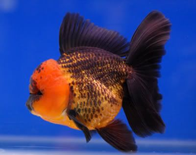 Black Gold Oranda Apache Goldfish Species Oranda Goldfish Goldfish