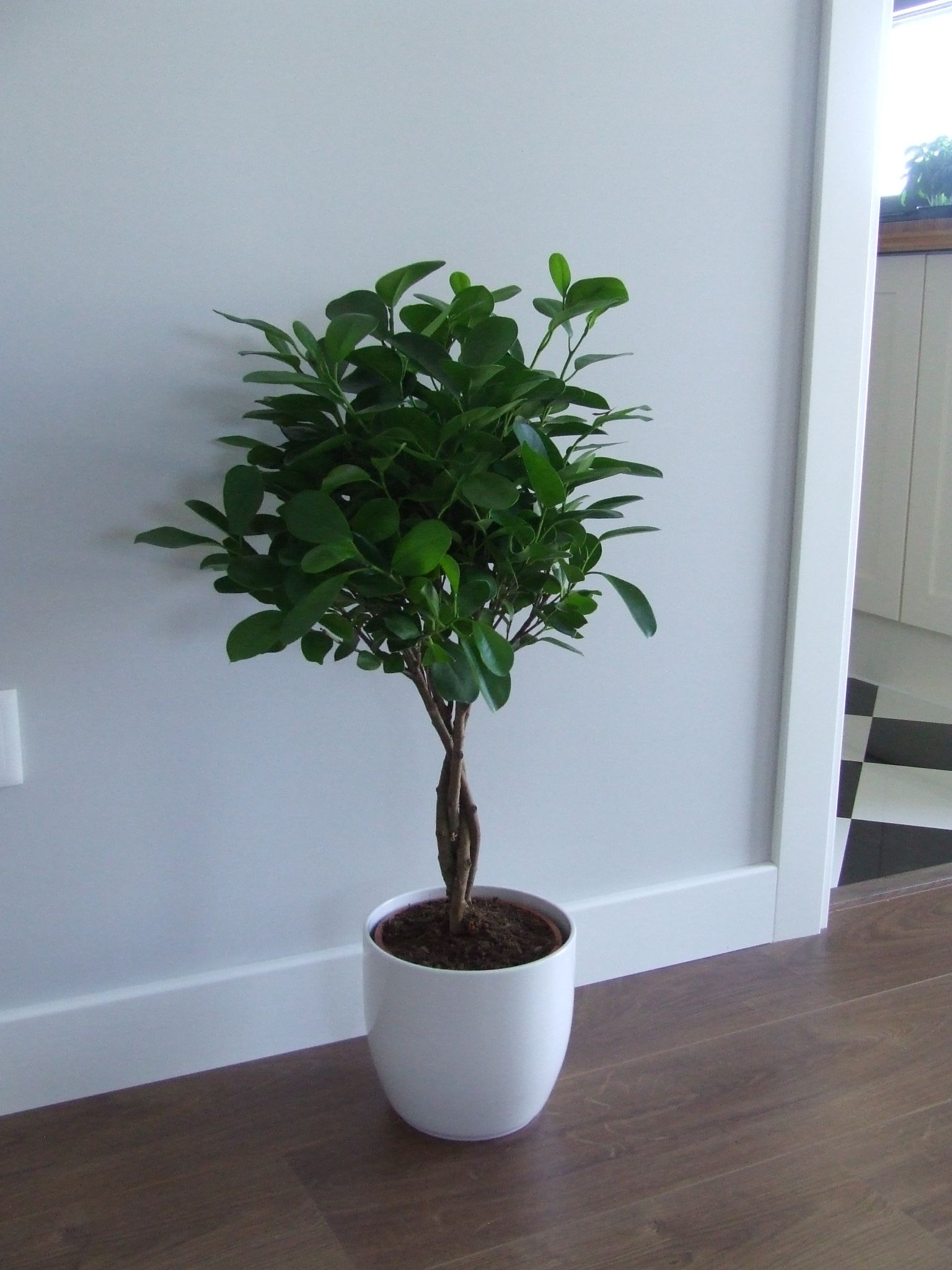 Ficus Microcarpa Moclame (Bought At Ikea Store)
