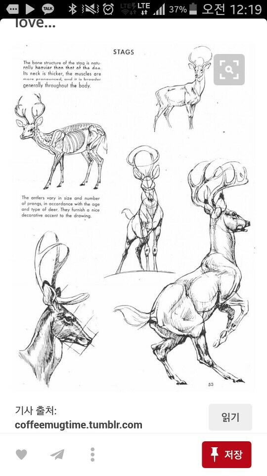 Pin by Courtney Kelly on Deer | Pinterest | Drawings, Anatomy and Animal