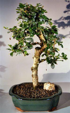 Fukien tea flowering bonsai tree extra large upright style with fukien tea flowering bonsai tree extra large upright style with tiered branching ehretia microphylla mightylinksfo