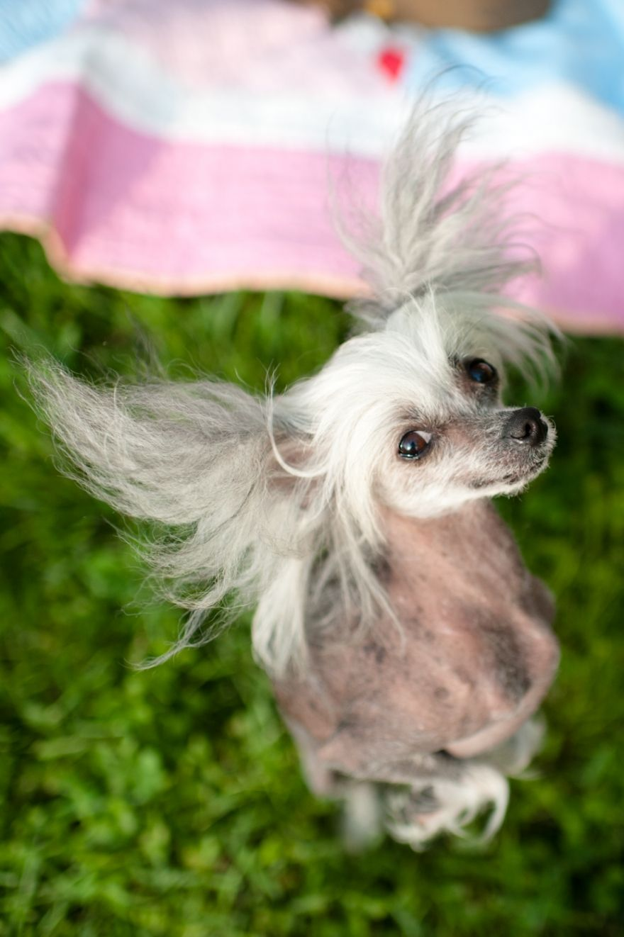 Chinese Crested Dog :-)