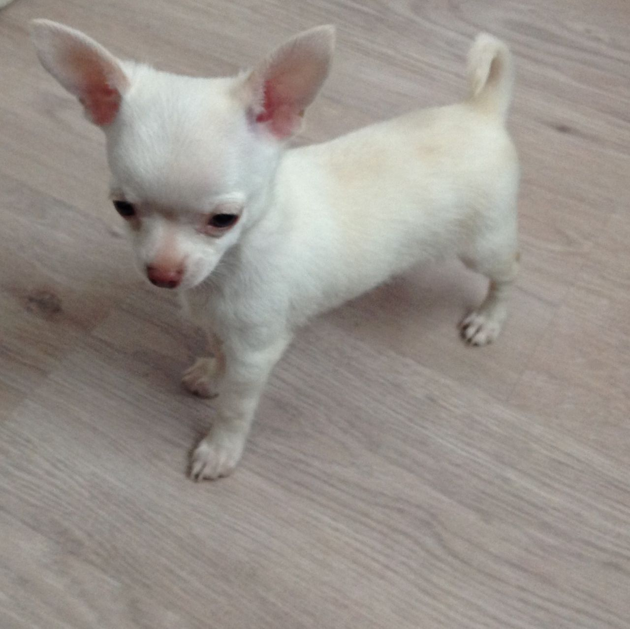 Kc Reg White Chihuahua Male Puppy Chihuahua Puppies White