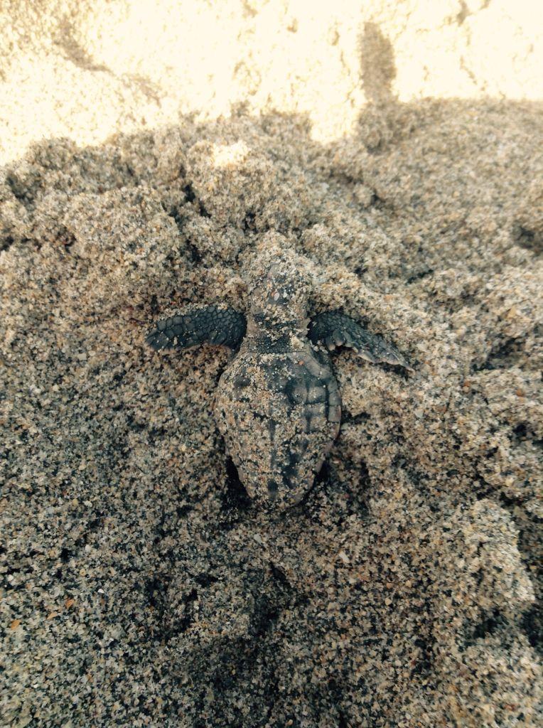 En Floride j'ai vue plein de tortue je vous en montre une des bébés tortue