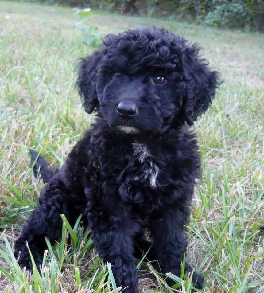 Lexis Porti Doodle Puppies Doodle Puppy Water Dog