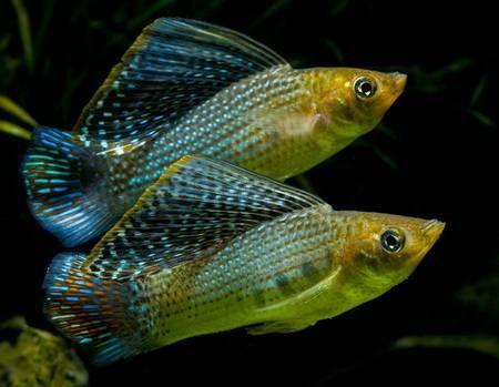 Pin By Karol Badowski On Livebearers Tropical Fish Aquarium Freshwater Aquarium Fish Tropical Fish Tanks