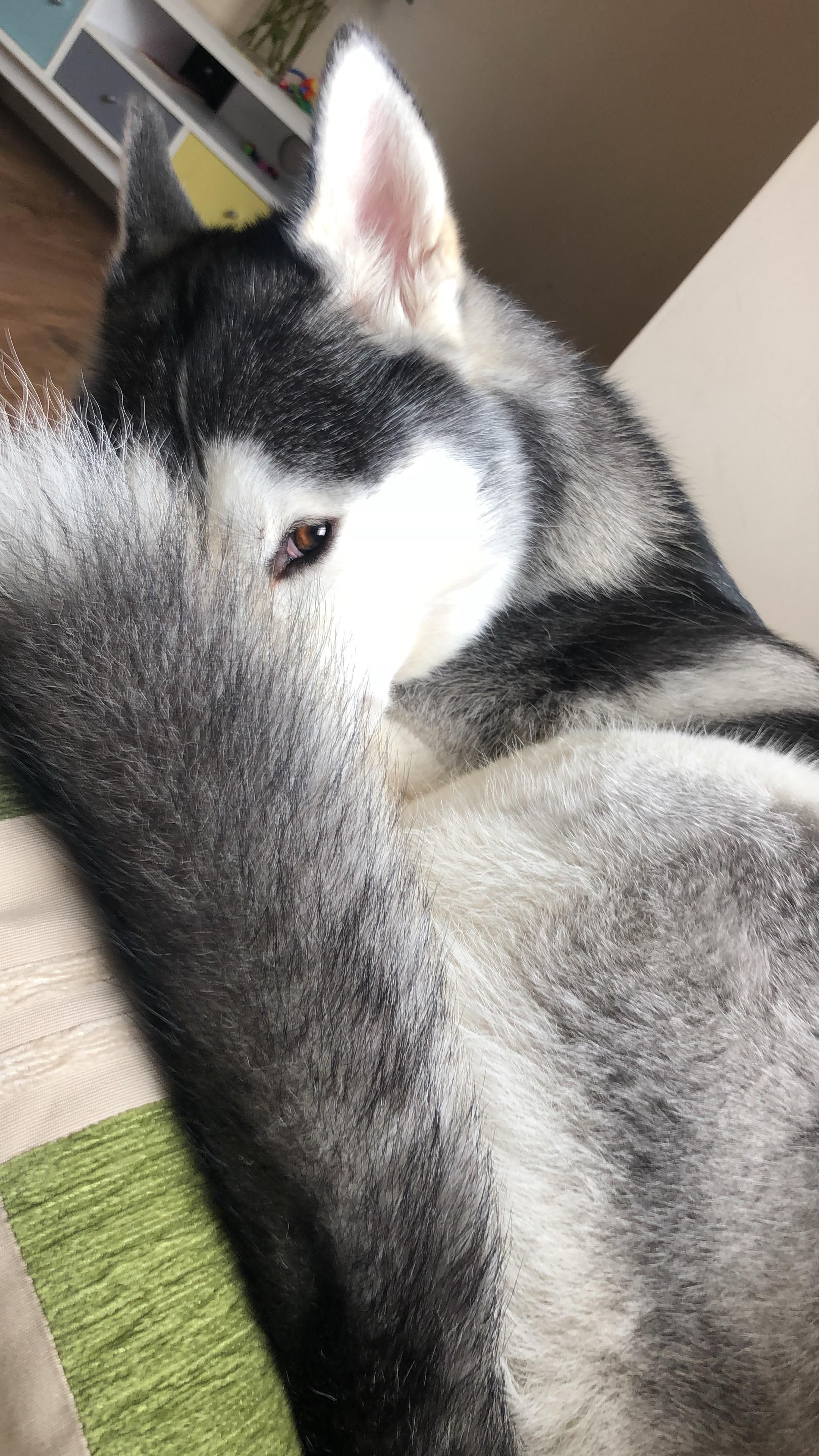 Siberian Husky Siberianhusky Siberian Husky Husky Dogs