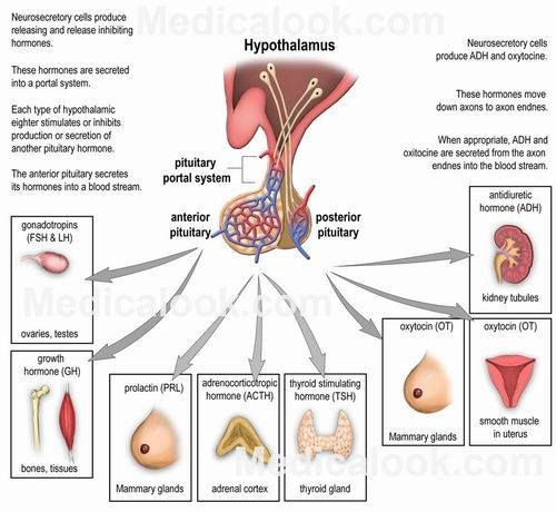 Visual of which hormones the anterior and posterior part of the ...